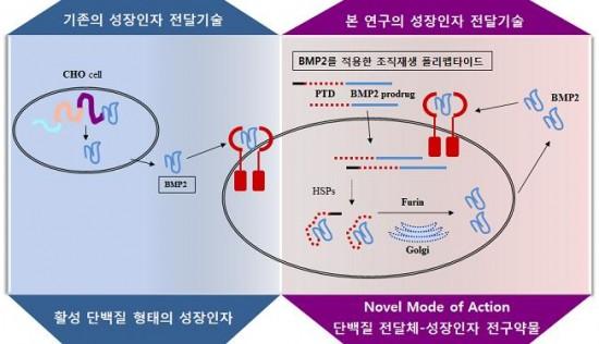 국내 연구진이 성장인자의 전구약물을 세포막을 잘 통과하는 전달체와 결합해 세포 내에 성장인자를 전달하는 기술을 개발했다. - 연세대 치대 제공